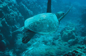 800px-Green-sea-turtle