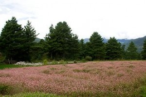 Field of buckwheat in Bumthang, Bhutan (Wikimedia Commons)